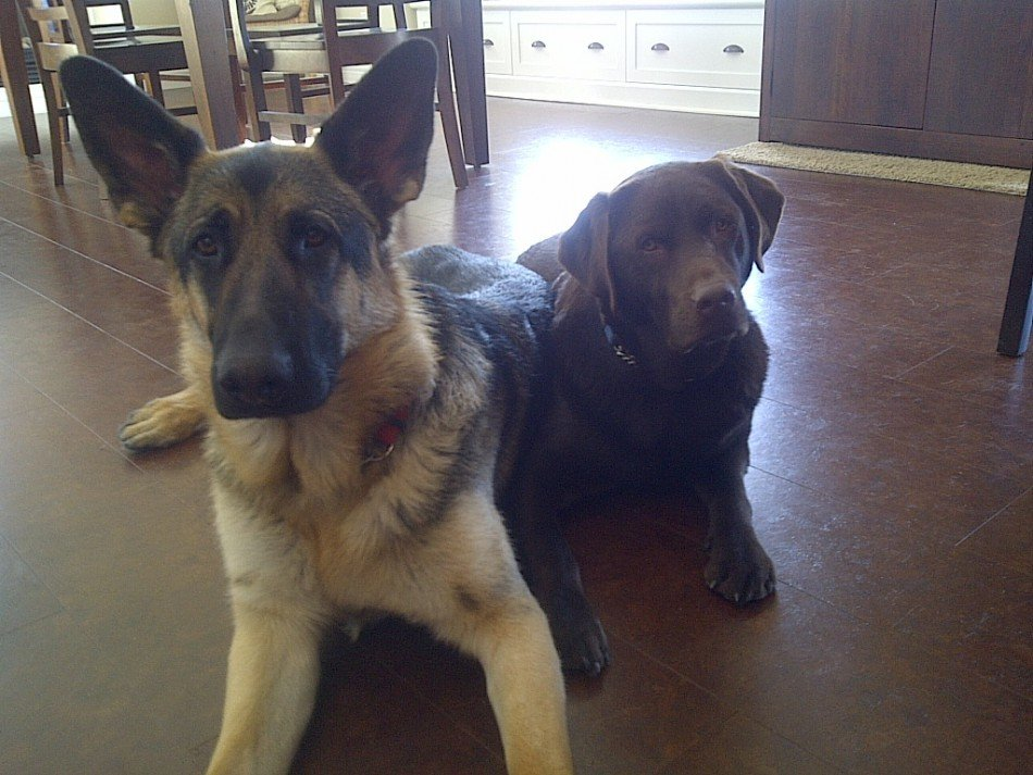 Two dogs laying together: A german shepherd and a chocolate labrador retriever